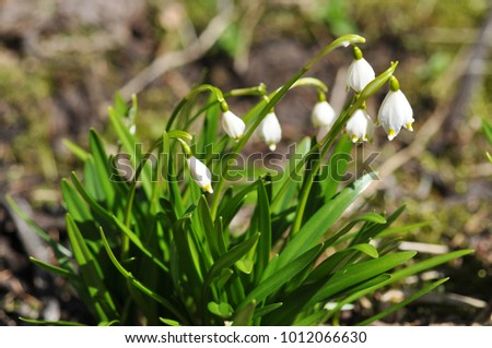 White spring snowflake flower in the wild leucojum vernum is a white spring snowflake flower in the wild leucojum vernum is a perennial bulbous flowering plant mightylinksfo