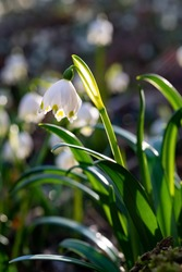 White Spring Snowflake flowers (Leucojum vernum) growing in a natural reserve Forest undergrowth in Iserlohn Sauerland Germany with bright warm sunslight. Early bloomer in Springtime, macro close up.