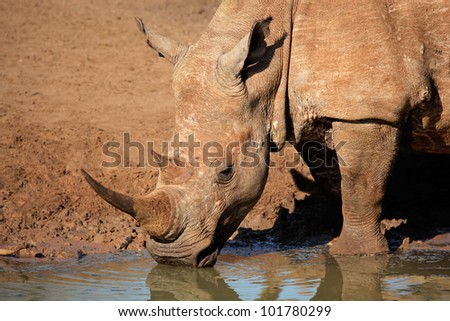 White (square-lipped) rhinoceros (Ceratotherium simum) drinking water, Mkuze game reserve, South Africa