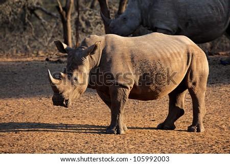 White (square-lipped) rhinoceros (Ceratotherium simum), Mkuze game reserve, South Africa