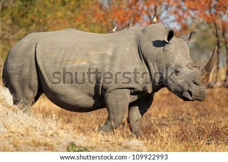 White (square-lipped) rhinoceros (Ceratotherium simum), South Africa