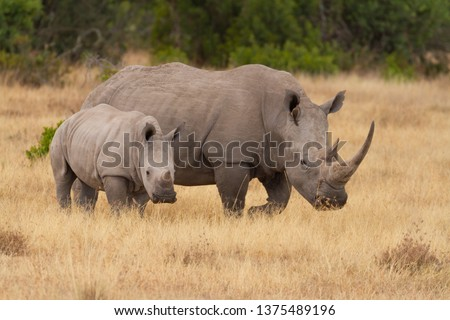 White square-lipped rhinoceros, mother and calf, Ceratotherium simum. Showing horns with oxpecker bird in ear. Ol Pejeta Conservancy, Kenya, East Africa.  Foto stock ©