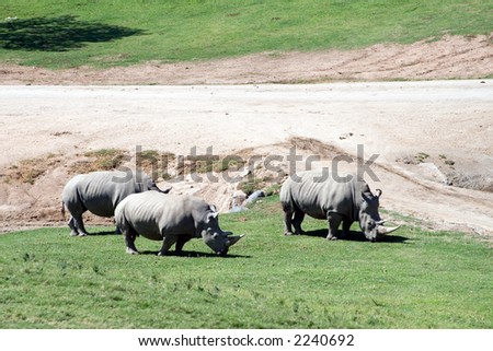 White (square-lipped) rhinoceros, South Africa