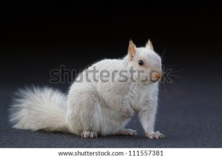 White squirrel, against a black background; Hatboro, Pennsylvania; Sciurus carolinensis