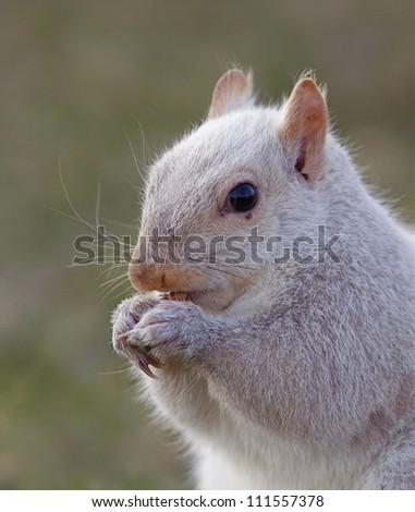 White squirrel; sharp, detailed portrait, Hatboro, Pennsylvania; Sciurus carolinensis