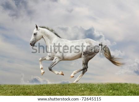 white stallion - stock photo