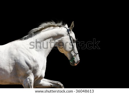 white stallion on black isolated