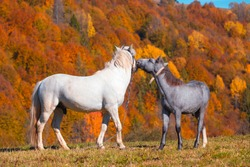 White stallion with foal on mountain pasture in front of mountain hill, covered with fall autumn forest. Moment of animal tenderness.