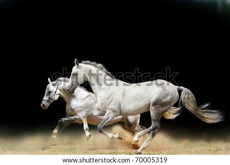 white stallions isolated on black - stock photo