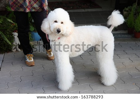 White Standard Poodle  #163788293