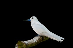 White stern, Gygis alba, a small seabird found across the tropical oceans of the world, known as the fairy tern, angel tern and white noddy in English and manu-o-Kū in Hawaiian.