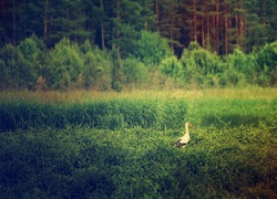 White stork bird in the meadow near forest, natural outdoor landscape