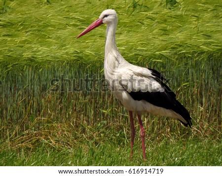 White stork (Ciconia ciconia) - Shutterstock ID 616914719