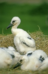 WHITE STORK ciconia ciconia, CHIKS STANDING IN NEST