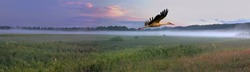 White Stork (Ciconia ciconia) flying at sunset in a floodplain meadow of the Soz River. eastern Belarus. Panoramic view of natural herb meadow with a mist during spring evening