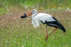 White Stork (Ciconia ciconia) has caught a mole en plays with it before eating it. Summer meadow. Noord Brabant the Netherlands, Europe. National bird of Germany and Belarus.