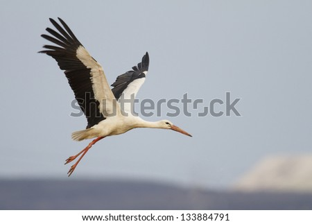 White Stork (Ciconia ciconia) in flight front of nice background