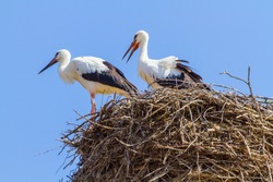 White stork (Ciconia ciconia) in front of blue sky