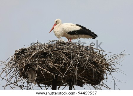 white stork Ciconia ciconia in Hungary
