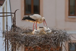 White stork, Ciconia ciconia, in nest on old brick chimney with rusty ladder. Adult stork feeding two chicks. Nesting birds in sunset light. Urban wildlife. Habitat Europe, Asia, Africa.