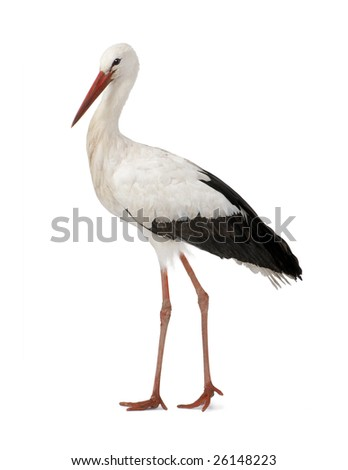 White Stork - Ciconia ciconia (18 months) in front of a white background #26148223