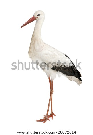 White Stork - Ciconia ciconia (18 months) in front of a white background #28092814