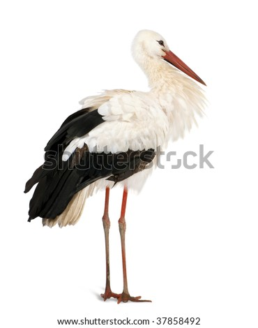 White Stork, Ciconia ciconia, 18 months, standing in front of a white background #37858492