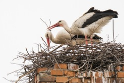 White stork (Ciconia ciconia) Pair of this big white bird build nest on the high brick chimney. Photo of mating animals. Bird with long red feet and beak, white body and black edge of wing. White sky