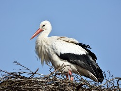 White Stork (Ciconia ciconia) resting in its nest with blue skies in the background