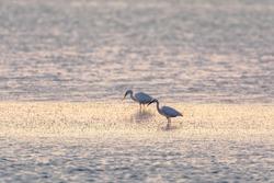 White stork (family Ciconiidae) on the sea of Tourlida lagoon in Aetolia-Acarnania, Greece.  Flock of birds Flamingos walking on the salt lake near Messolongi.
