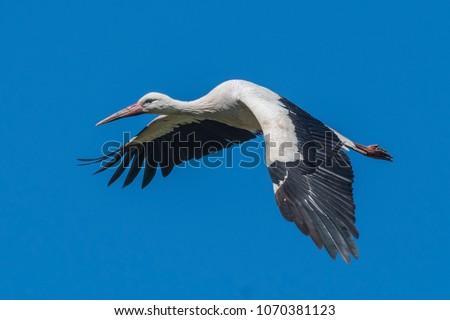 White Stork Flying - Shutterstock ID 1070381123
