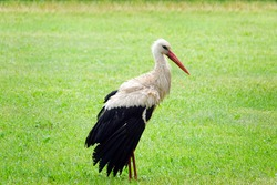White Stork in summer meadow standing at the green grass. Named as Ciconia ciconia. a large white bird with black on the bird's wings, long red legs and long pointed red beaks. Located in Estonia