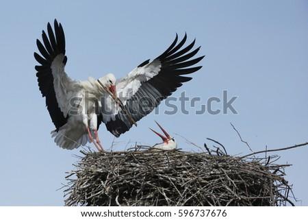 White stork lands in the nest