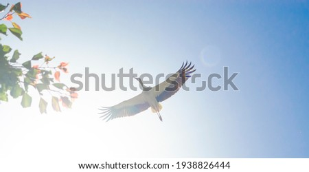 White Stork overhead. A magnificent white stork shows the finery of its plumage as it passes overhead in the sky on background of the sun. View from the garden with branch of tree Foto d'archivio ©