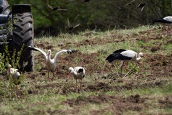 White storks feeding in a ploughed field, Lithuania