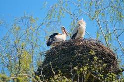 White storks pair in nest.