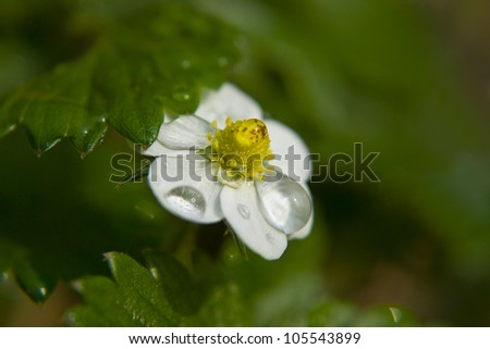 white strawberry flower with rain drops