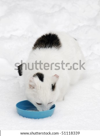 White stray cat is standing in the snow and is drinking milk from the blue bowl