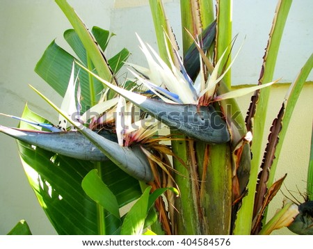 Shutterstock White strelitzia. Flower detail of a Giant White Bird of Paradise (Strelitzia nicolai), taken in Southern Brazil.
