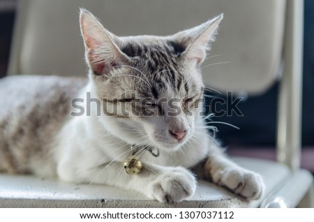White striped cat sitting a sleep on a chair #1307037112