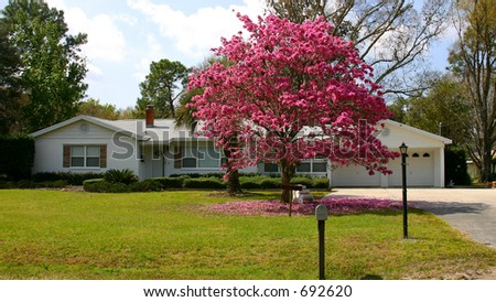White suburban house with a flowering pink Tabebula tree in front of it