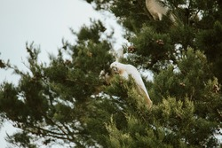 White sulphur-crested cockatoo sitting in a tree.