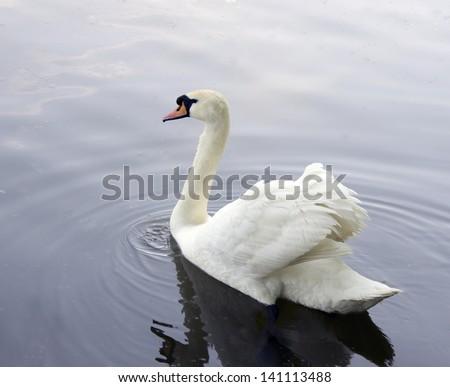 Stock Photo White swan