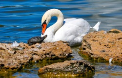 White swan and little turtle. Swan and turtle friendship. Friendship story of white swan and turtle