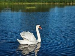 white swan at lake blue water