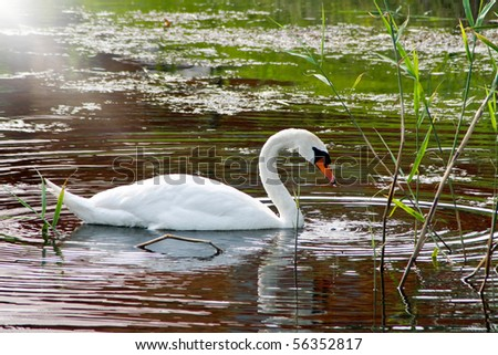 White Swan by the lake