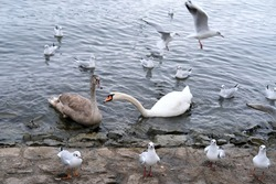 white swan, Cygnus, gray swan, mute swan, Cygnus olor, anseriformes of duck family swims among seagulls in lake Lucerne in switzerland, concept of fauna of urban water bodies, feeding of wild animals