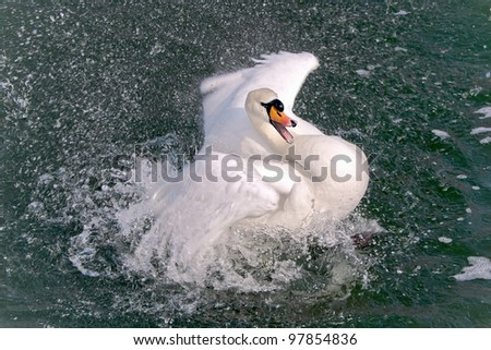 White Swan (Cygnus olor) close-up