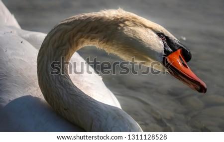White Swan enjoying sunbath in the morning  #1311128528