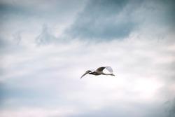 White  swan flies alone in the cloudy sky. Whooper swan (family Anatidae, genius Cygnus Cygnus). Wild nature. Spring in Karelia.
